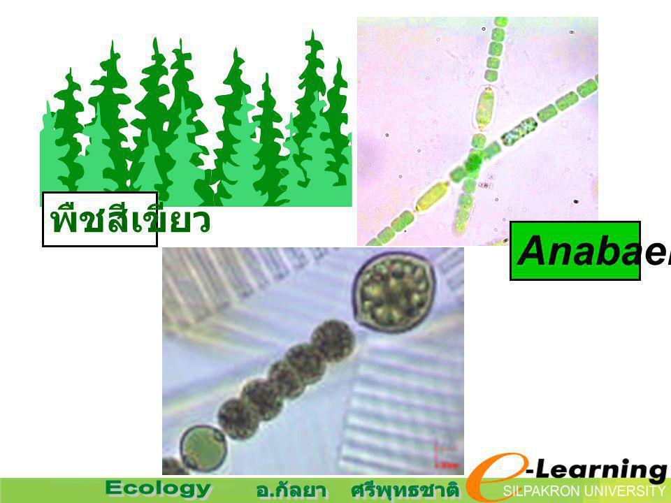 พืชสีเขียว Anabaena