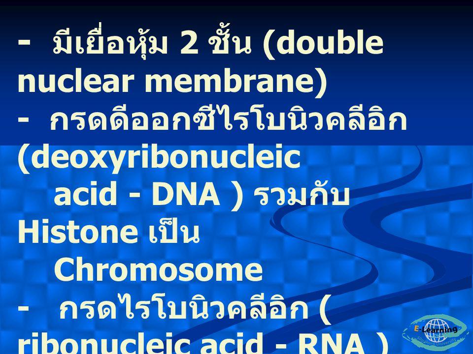 - มีเยื่อหุ้ม 2 ชั้น (double nuclear membrane)