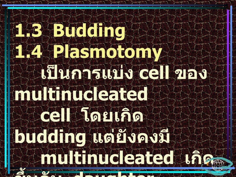 1.3 Budding 1.4 Plasmotomy. เป็นการแบ่ง cell ของ multinucleated. cell โดยเกิด budding แต่ยังคงมี