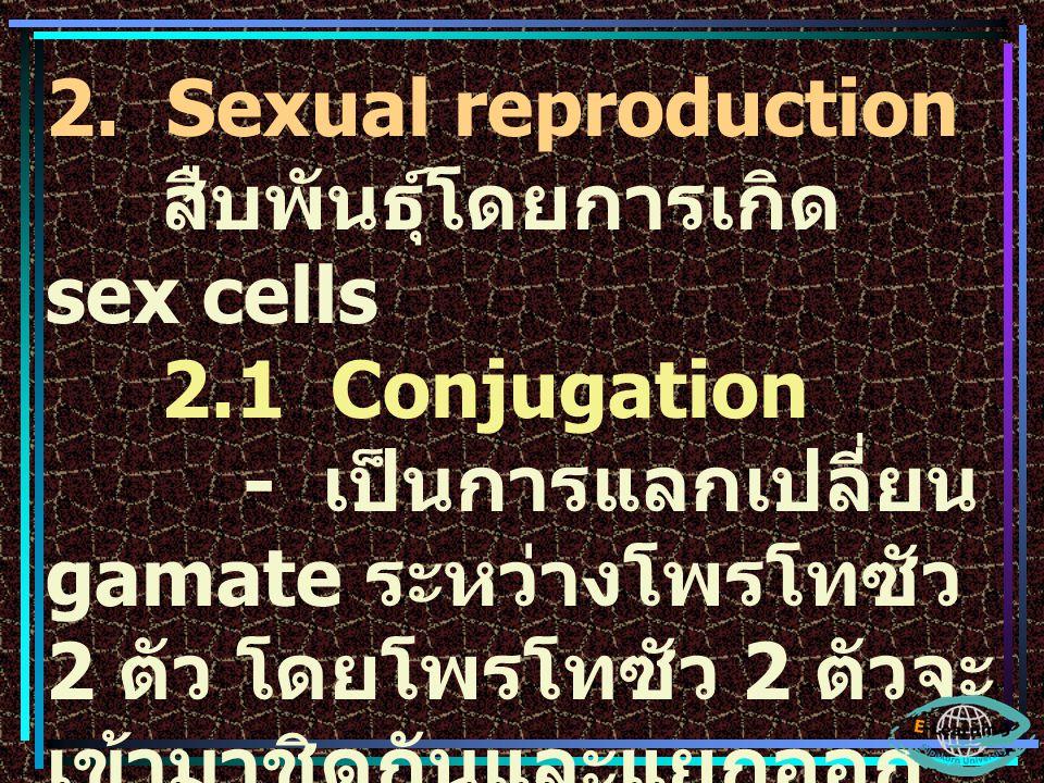 2. Sexual reproduction สืบพันธุ์โดยการเกิด sex cells. 2.1 Conjugation.