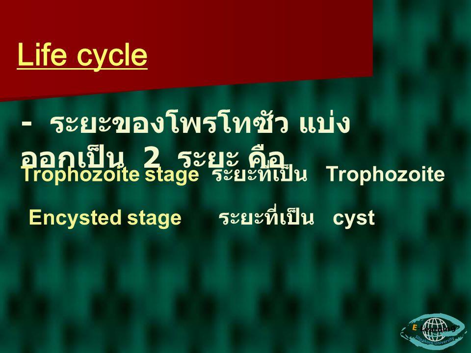 Life cycle - ระยะของโพรโทซัว แบ่งออกเป็น 2 ระยะ คือ