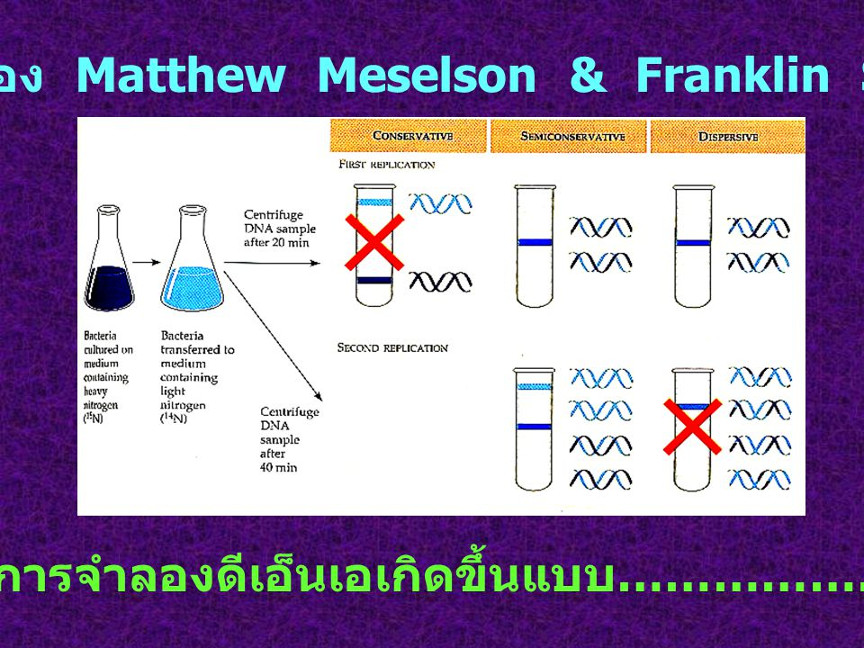 การทดลองของ Matthew Meselson & Franklin Stahl (1958)