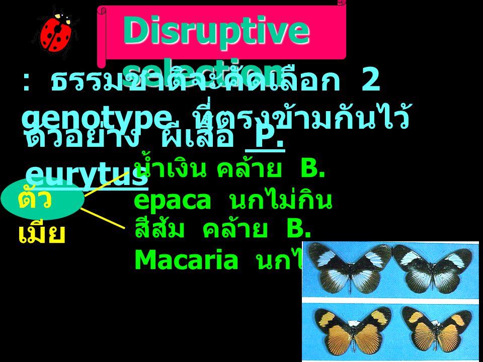 Disruptive selection : ธรรมชาติจะคัดเลือก 2 genotype ที่ตรงข้ามกันไว้