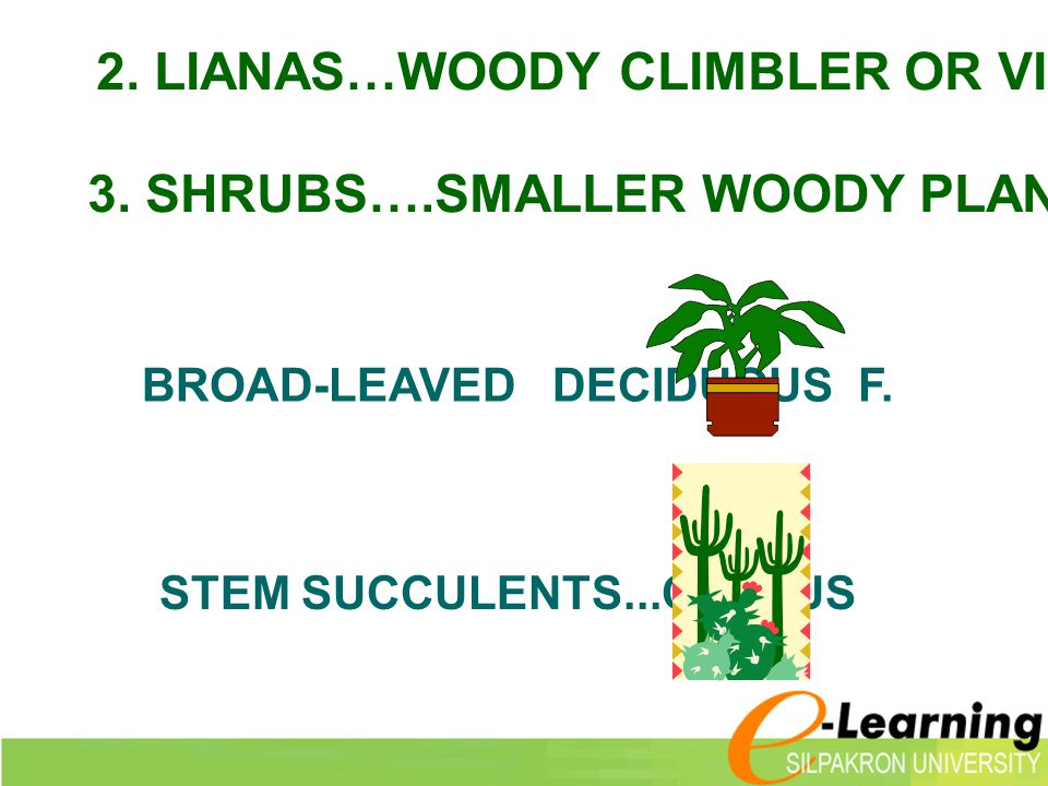 2. LIANAS…WOODY CLIMBLER OR VINES)..เถาวัลย์
