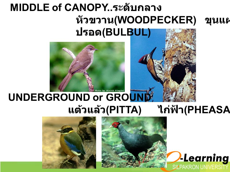 MIDDLE of CANOPY..ระดับกลาง