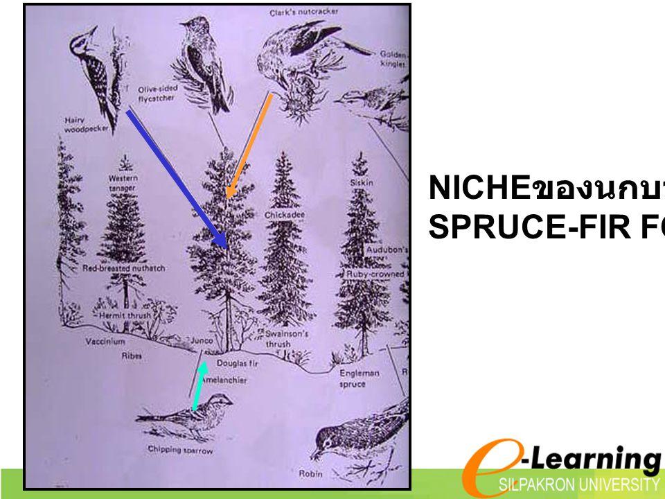 NICHEของนกบางชนิด SPRUCE-FIR FOREST