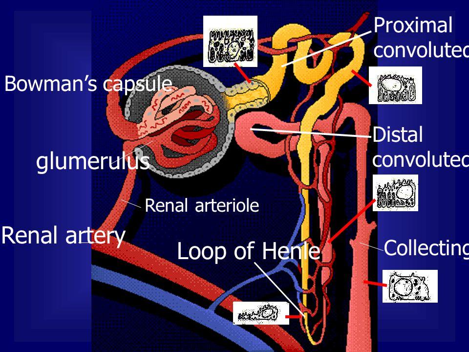 glumerulus Renal artery Loop of Henle Proximal convoluted tubule