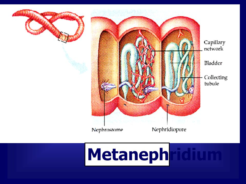 Metanephridium