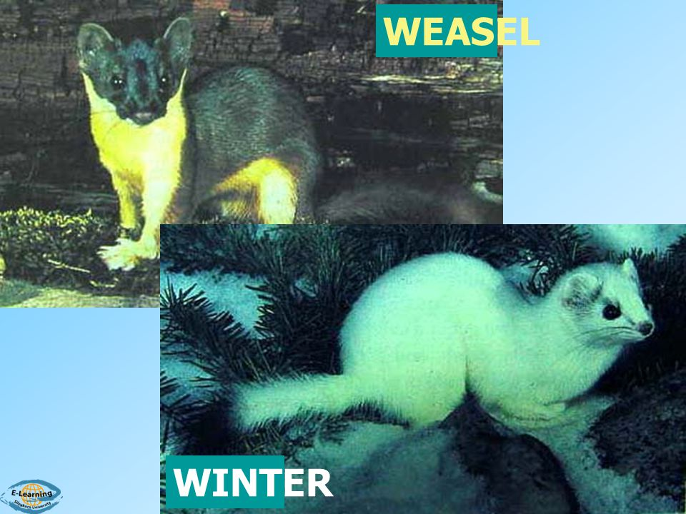 WEASEL WINTER