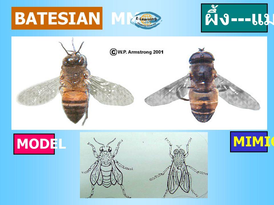 ผึ้ง---แมลง BATESIAN MM. MIMIC MODEL