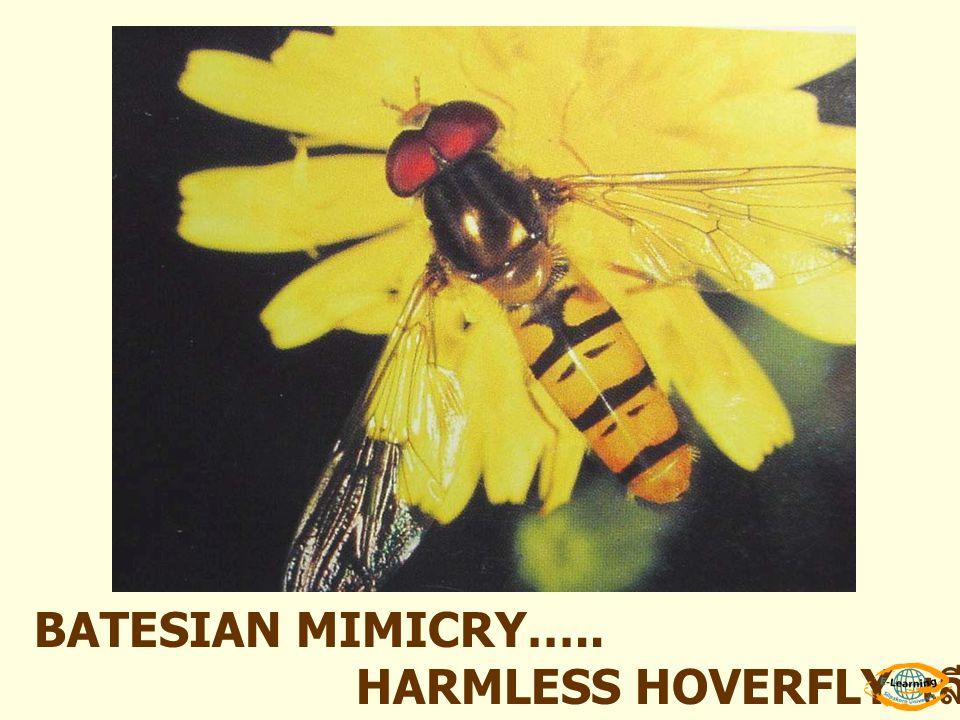 BATESIAN MIMICRY….. HARMLESS HOVERFLY เลียนแบบตัวต่อ