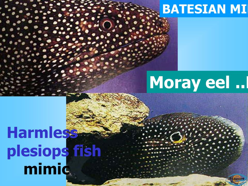 BATESIAN MIMICRY Moray eel ..MODEL Harmless plesiops fish mimic