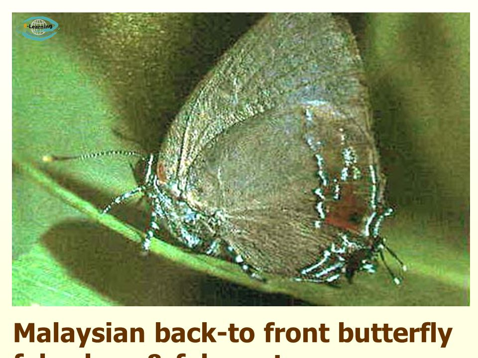 Malaysian back-to front butterfly false legs & fake antennae