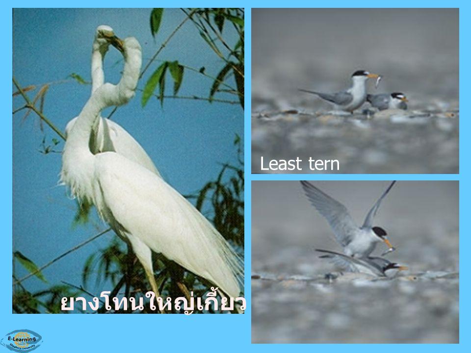 Least tern ยางโทนใหญ่เกี้ยว