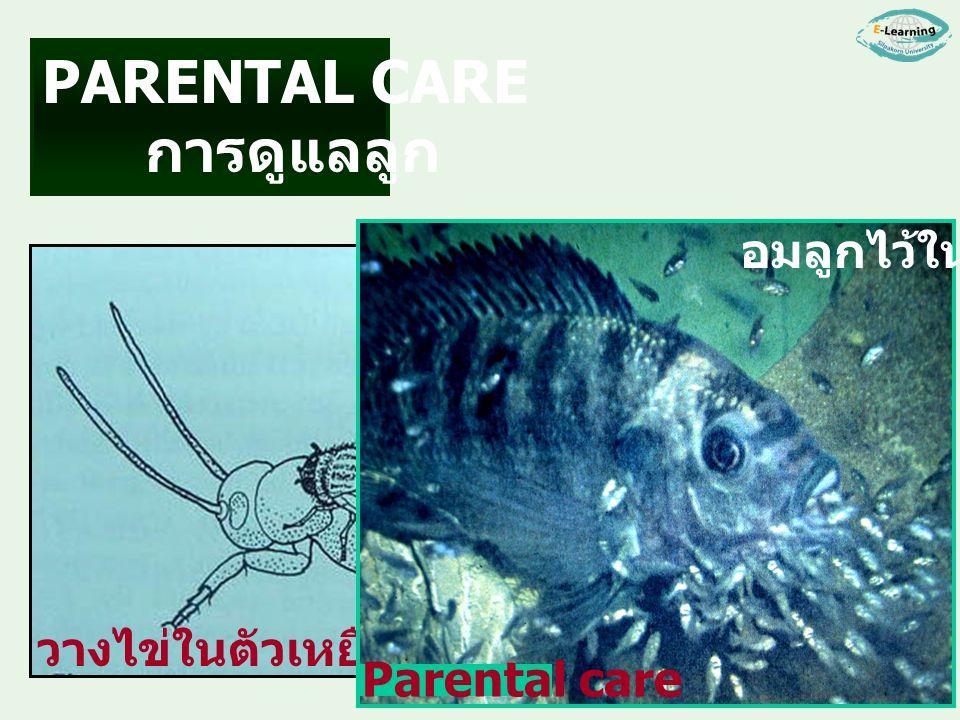 PARENTAL CARE การดูแลลูก อมลูกไว้ในปาก Parental care วางไข่ในตัวเหยื่อ