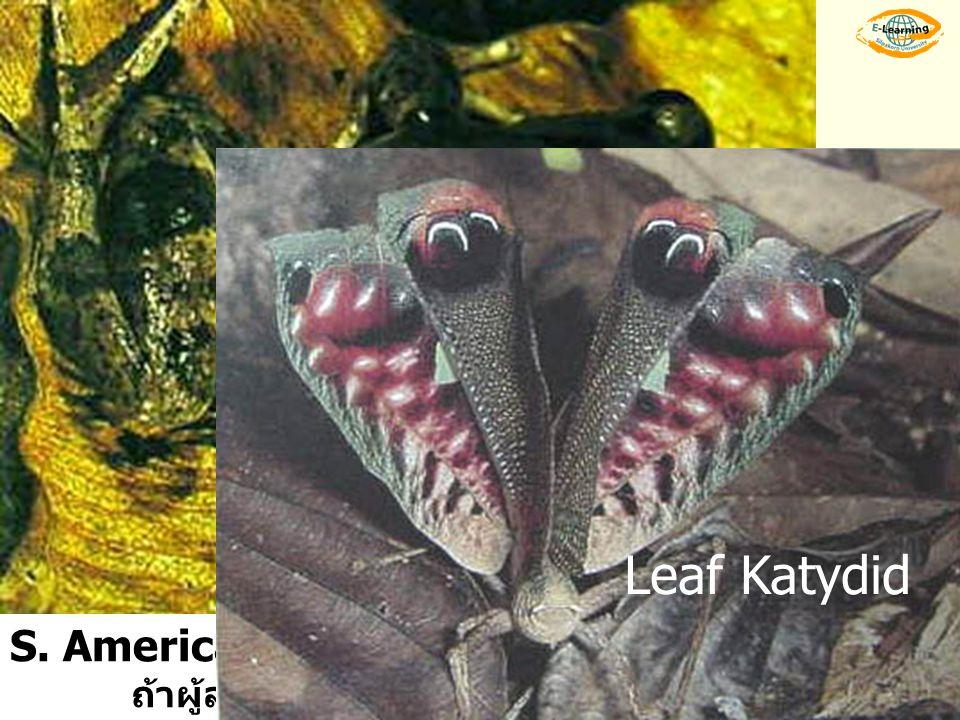 Leaf Katydid S. American frog จะพองตัวเพื่อให้เห็นตาหลอก……ผู้ล่าตกใจ