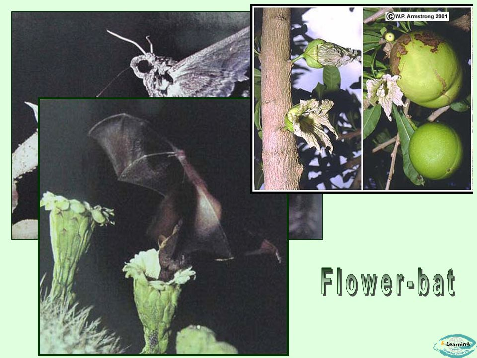 ผีเสื้อกลางคืน Flower-bat