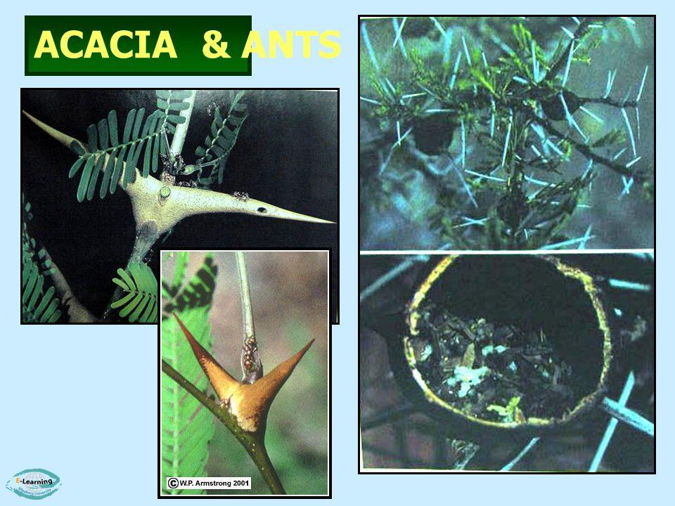 ACACIA & ANTS
