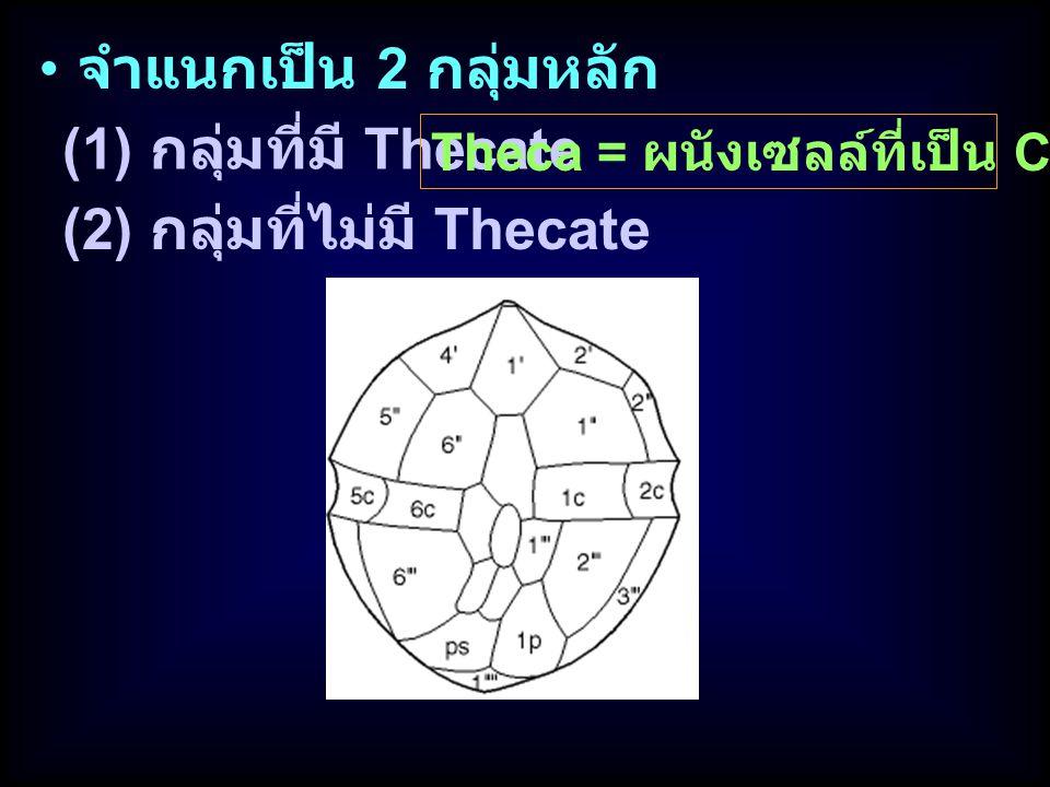 (2) กลุ่มที่ไม่มี Thecate