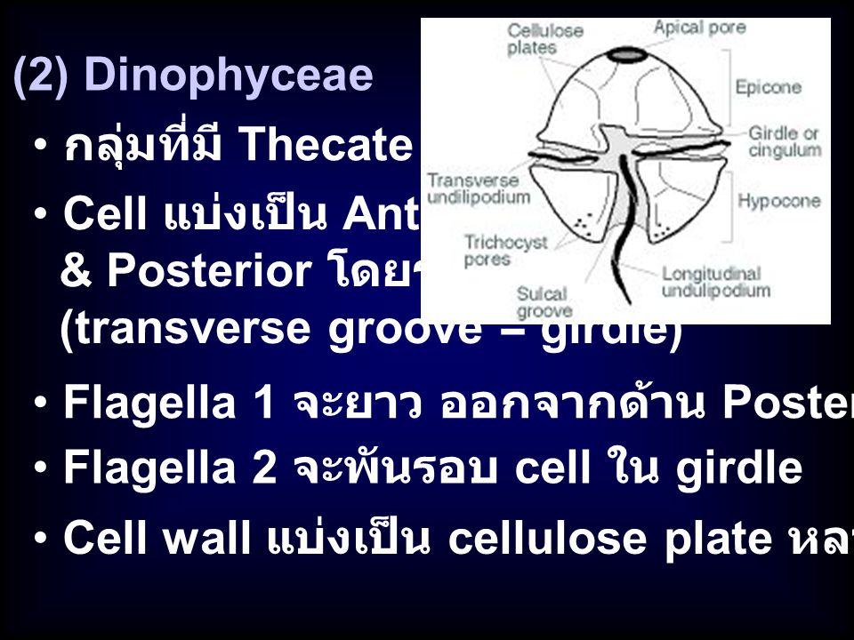 (2) Dinophyceae กลุ่มที่มี Thecate. Cell แบ่งเป็น Anterior. & Posterior โดยร่อง. (transverse groove = girdle)