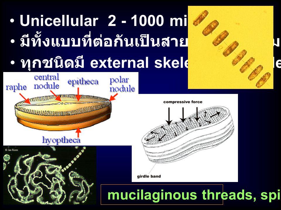 มีทั้งแบบที่ต่อกันเป็นสายหรือเกาะกลุ่ม Unicellular 2 - 1000 micron