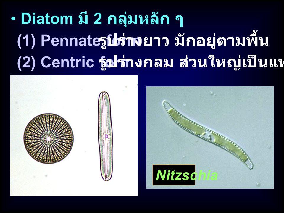 รูปร่างยาว มักอยู่ตามพื้น (2) Centric form
