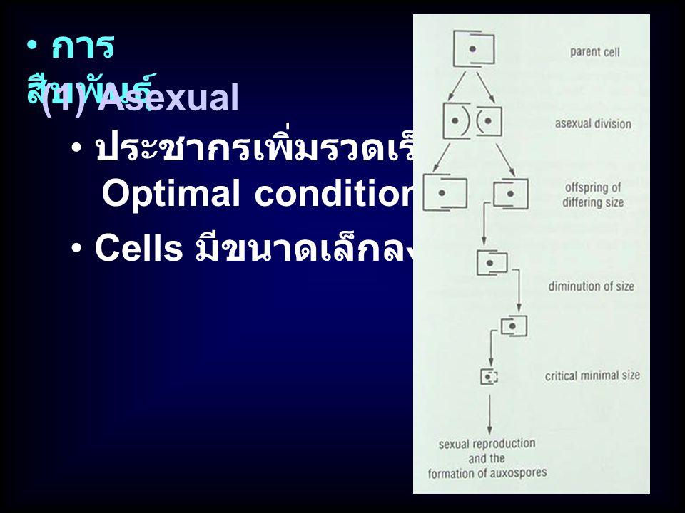 การสืบพันธุ์ (1) Asexual ประชากรเพิ่มรวดเร็วใน Optimal condition Cells มีขนาดเล็กลง