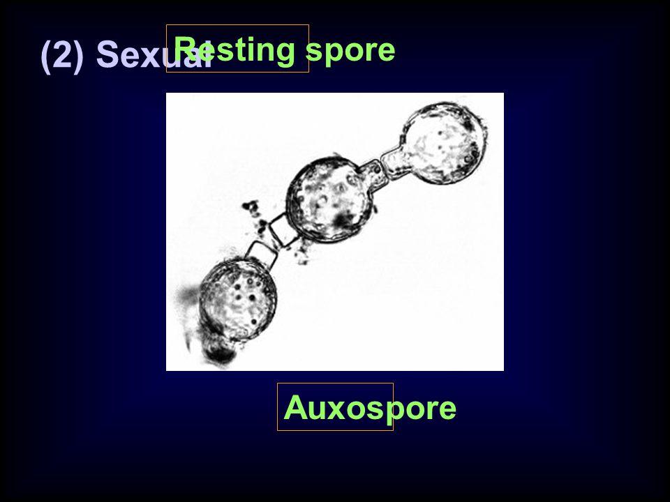 (2) Sexual Resting spore Auxospore