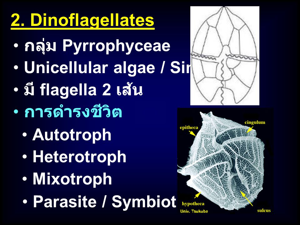 2. Dinoflagellates กลุ่ม Pyrrophyceae Unicellular algae / Single cell