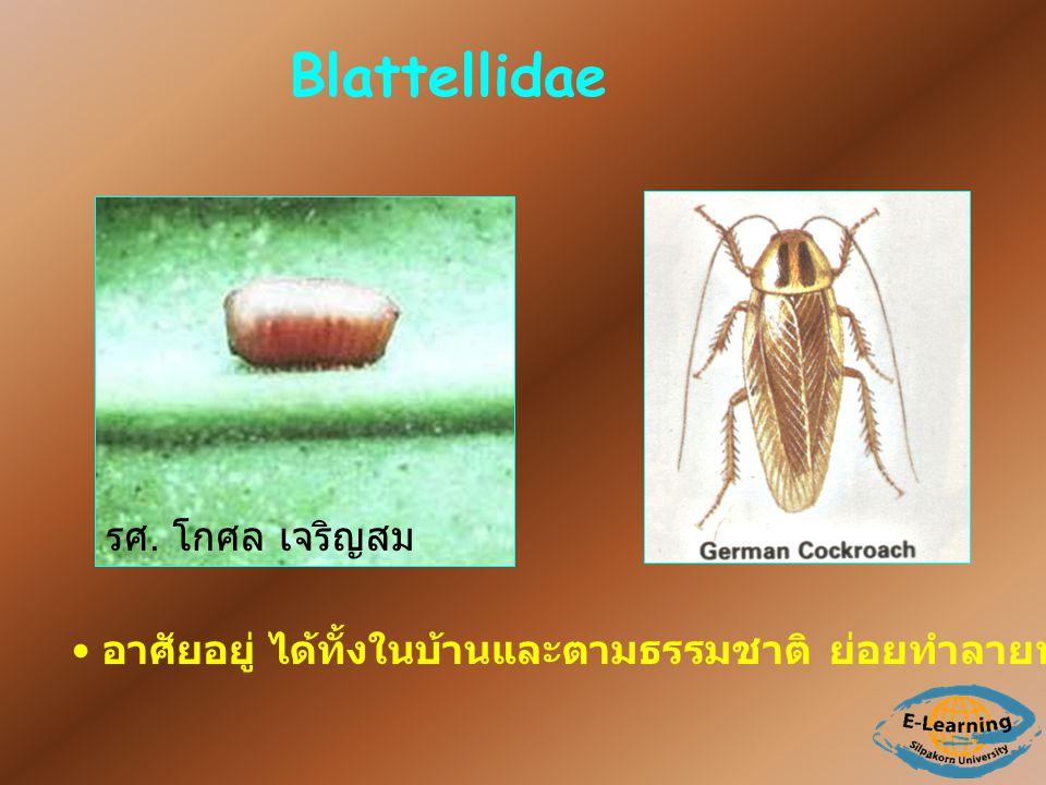 Blattellidae รศ. โกศล เจริญสม