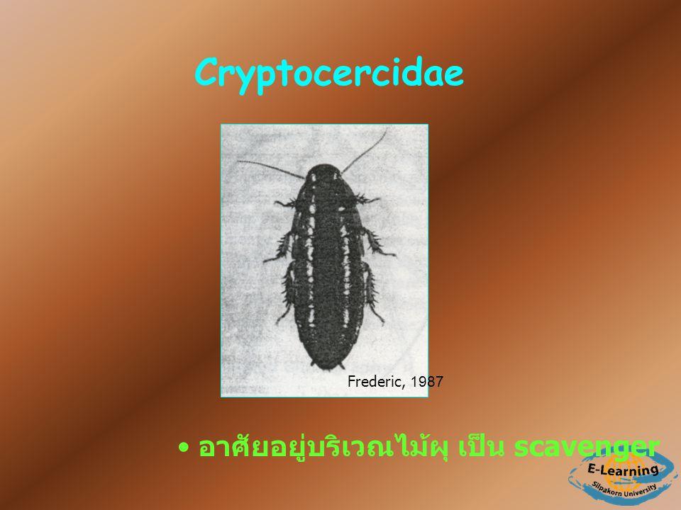 Cryptocercidae Frederic, 1987 อาศัยอยู่บริเวณไม้ผุ เป็น scavenger