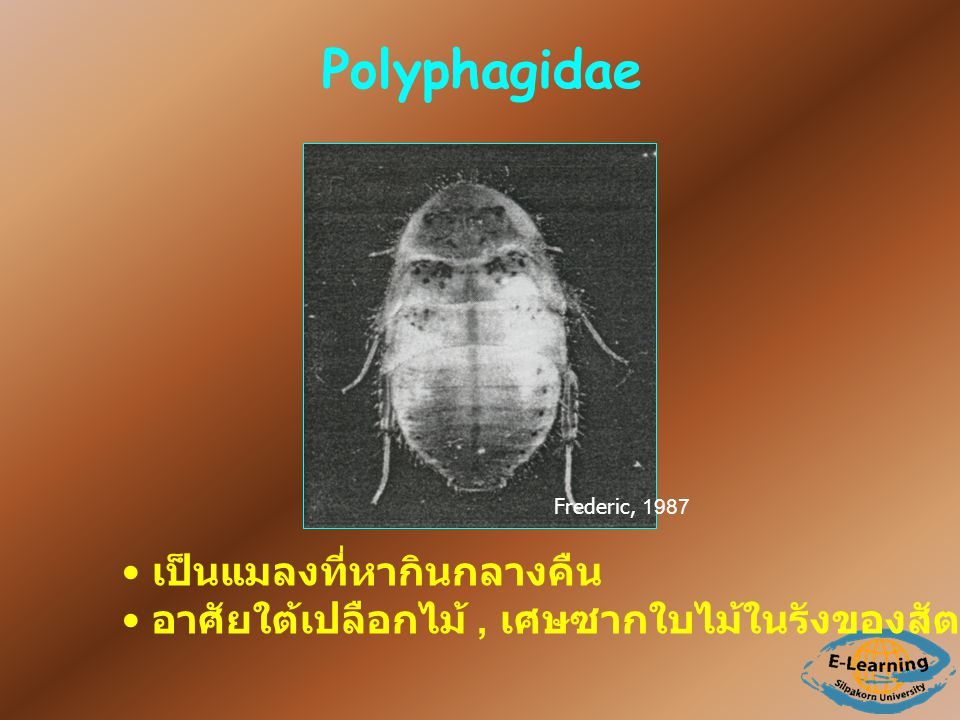Polyphagidae เป็นแมลงที่หากินกลางคืน
