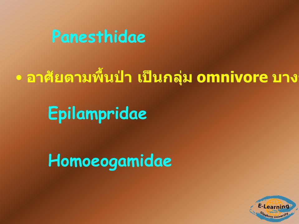 Panesthidae Epilampridae Homoeogamidae