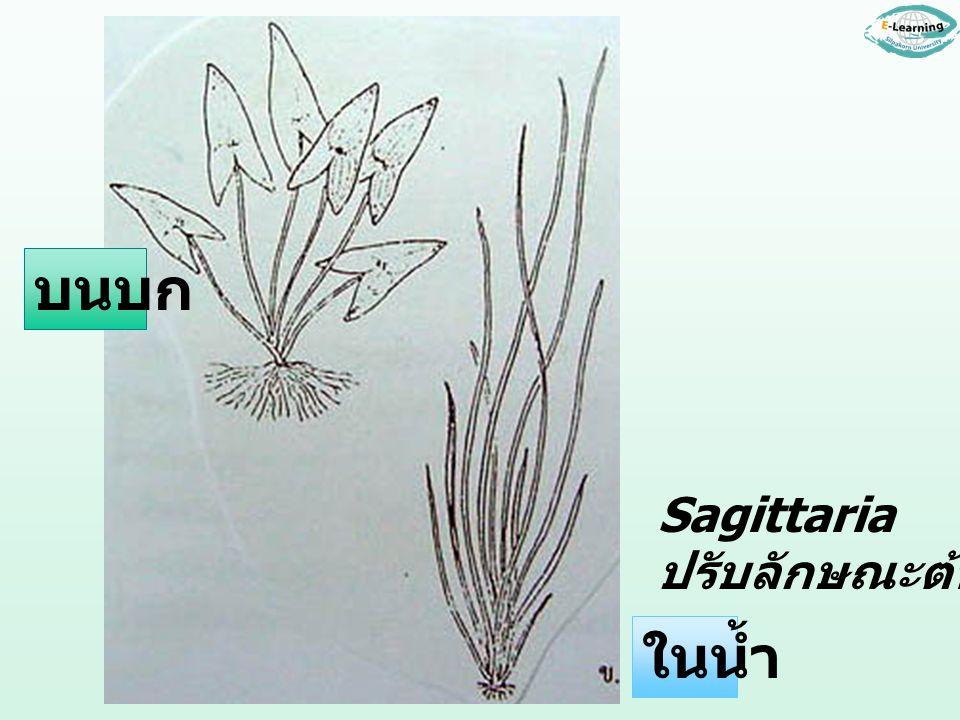 บนบก Sagittaria ปรับลักษณะต้นและใบ ในน้ำ