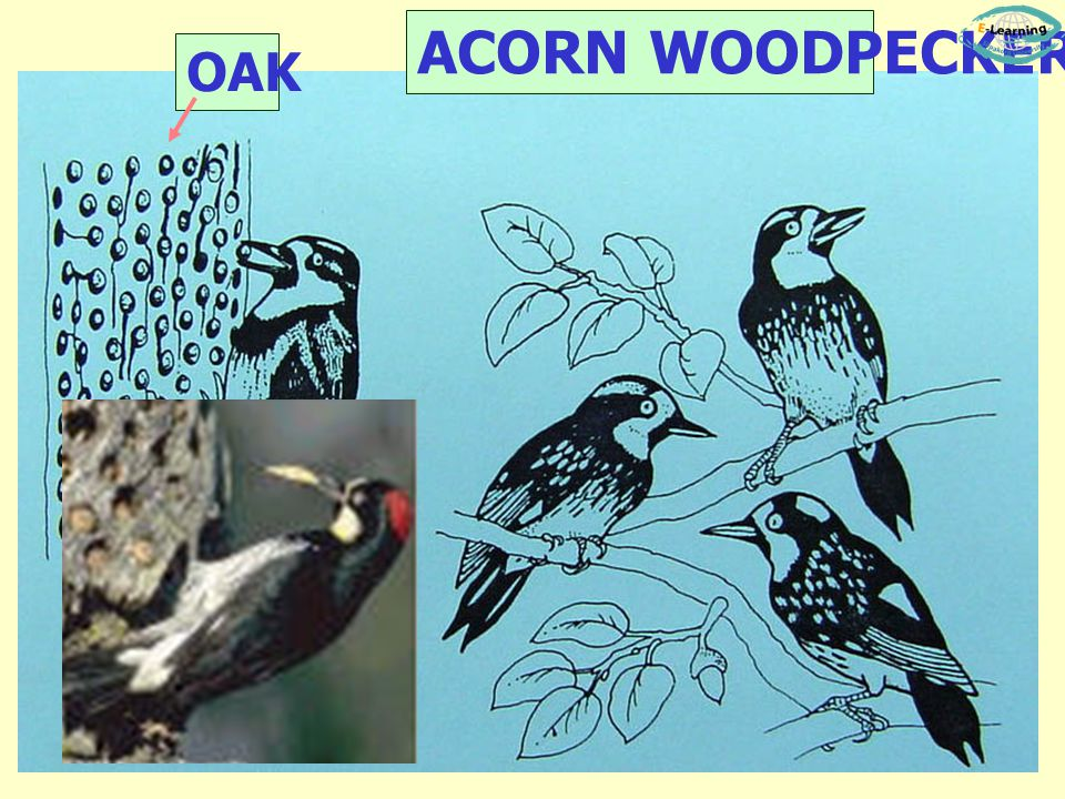 ACORN WOODPECKER OAK