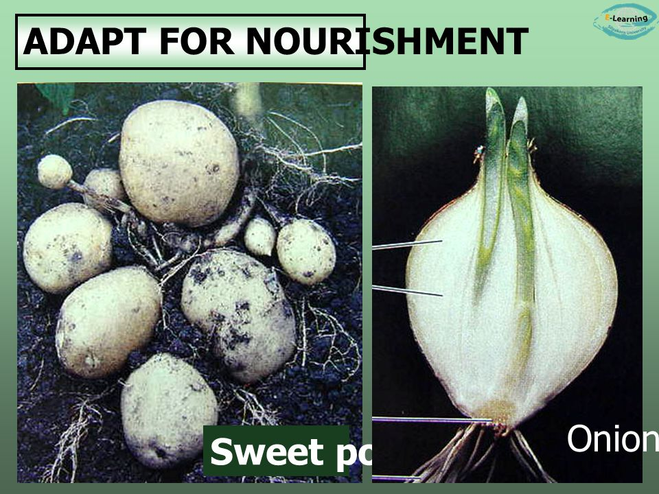 ADAPT FOR NOURISHMENT Sweet potato Onion