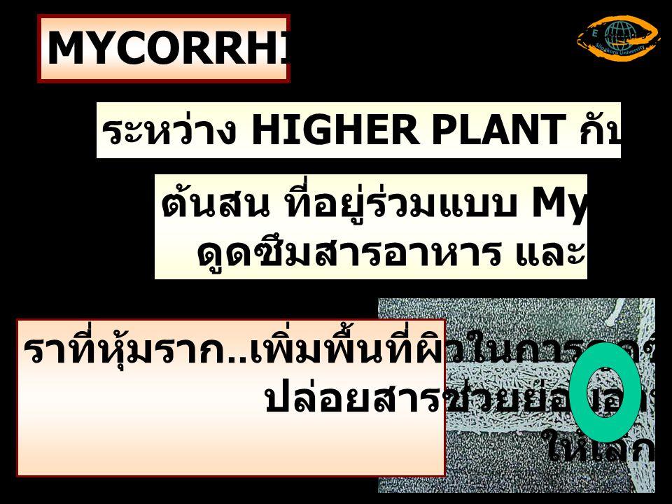 MYCORRHIZAE ระหว่าง HIGHER PLANT กับ SOIL FUNGI