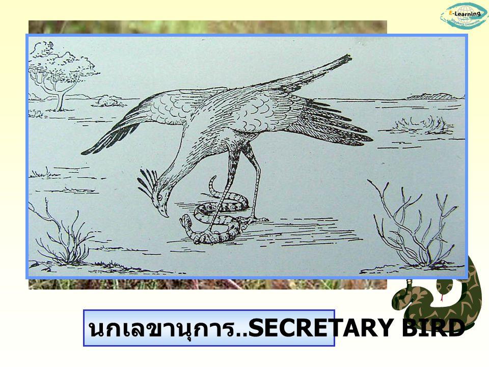 นกเลขานุการ..SECRETARY BIRD