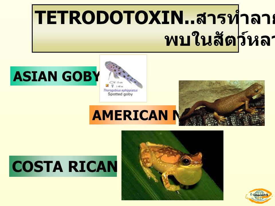 TETRODOTOXIN..สารทำลายประสาท พบในสัตว์หลายชนิด