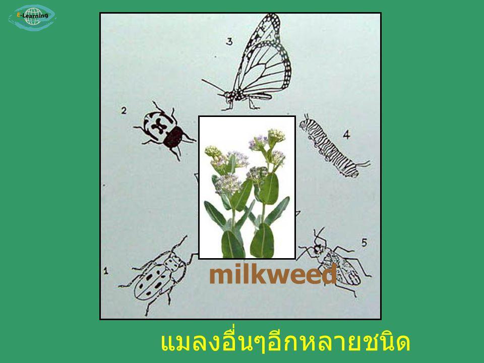 milkweed แมลงอื่นๆอีกหลายชนิด