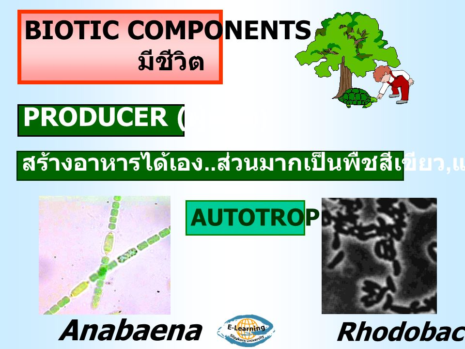 Anabaena BIOTIC COMPONENTS มีชีวิต PRODUCER (ผู้ผลิต) Rhodobacter