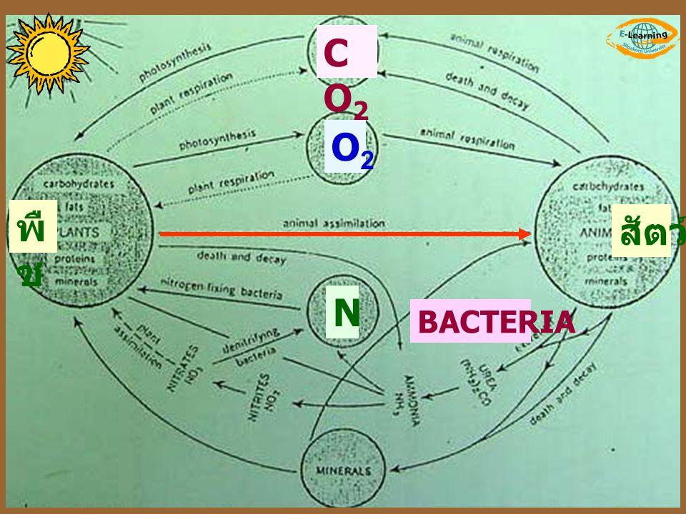 CO2 O2 พืช สัตว์ N BACTERIA