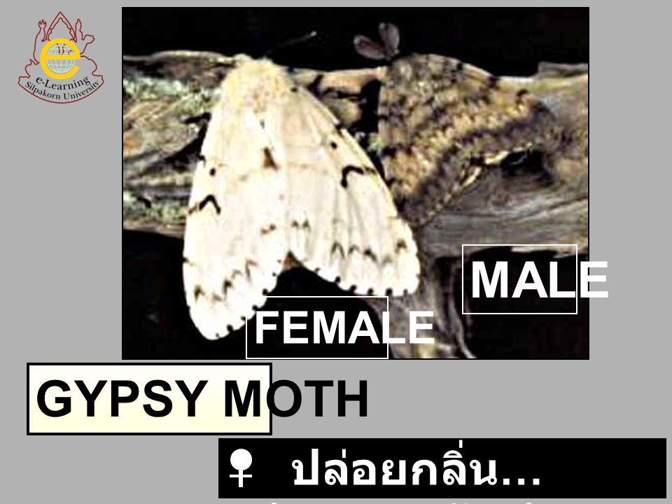 FEMALE MALE GYPSY MOTH ปล่อยกลิ่น…พร้อมผสมพันธุ์