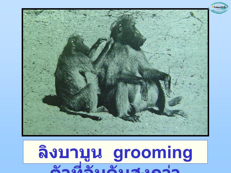 ลิงบาบูน grooming ตัวที่อันดับสูงกว่า