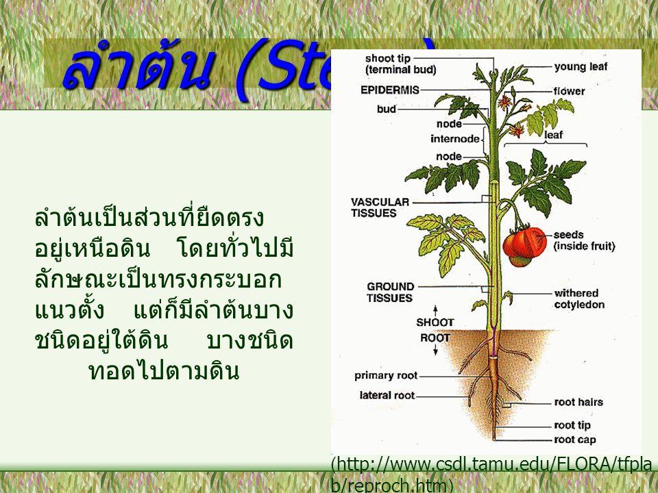ลำต้น (Stem) ลำต้นเป็นส่วนที่ยืดตรงอยู่เหนือดิน โดยทั่วไปมีลักษณะเป็นทรงกระบอกแนวตั้ง แต่ก็มีลำต้นบางชนิดอยู่ใต้ดิน บางชนิดทอดไปตามดิน.