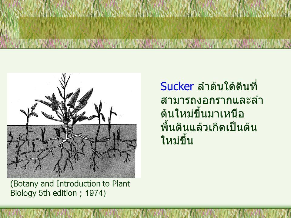 Sucker ลำต้นใต้ดินที่สามารถงอกรากและลำต้นใหม่ขึ้นมาเหนือพื้นดินแล้วเกิดเป็นต้นใหม่ขึ้น