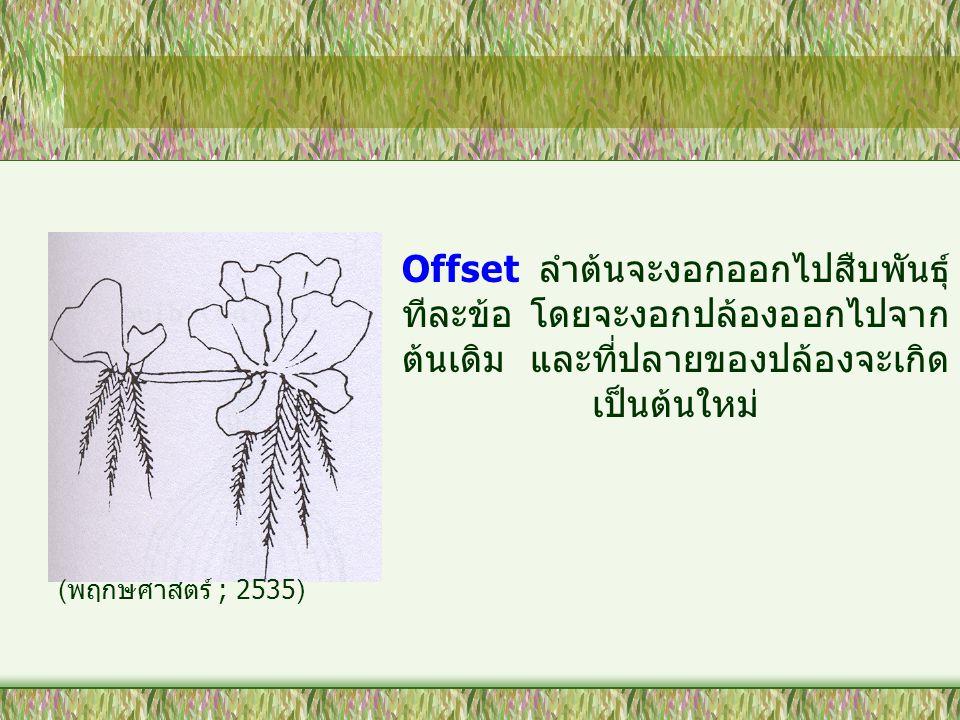 Offset ลำต้นจะงอกออกไปสืบพันธุ์ทีละข้อ โดยจะงอกปล้องออกไปจากต้นเดิม และที่ปลายของปล้องจะเกิดเป็นต้นใหม่