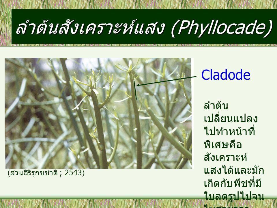 ลำต้นสังเคราะห์แสง (Phyllocade)