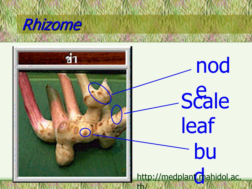 Rhizome node Scale leaf bud http://medplant.mahidol.ac.th/