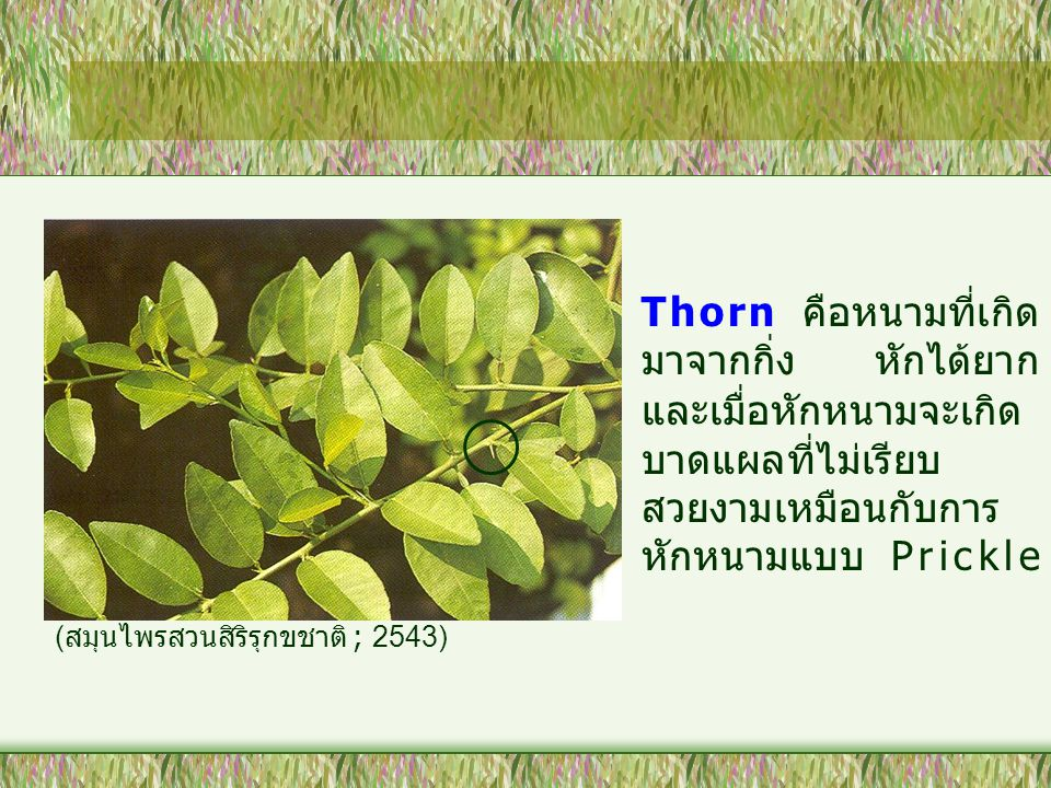 Thorn คือหนามที่เกิดมาจากกิ่ง หักได้ยาก และเมื่อหักหนามจะเกิดบาดแผลที่ไม่เรียบสวยงามเหมือนกับการหักหนามแบบ Prickle